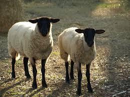 mesin potong rumput untuk kambing