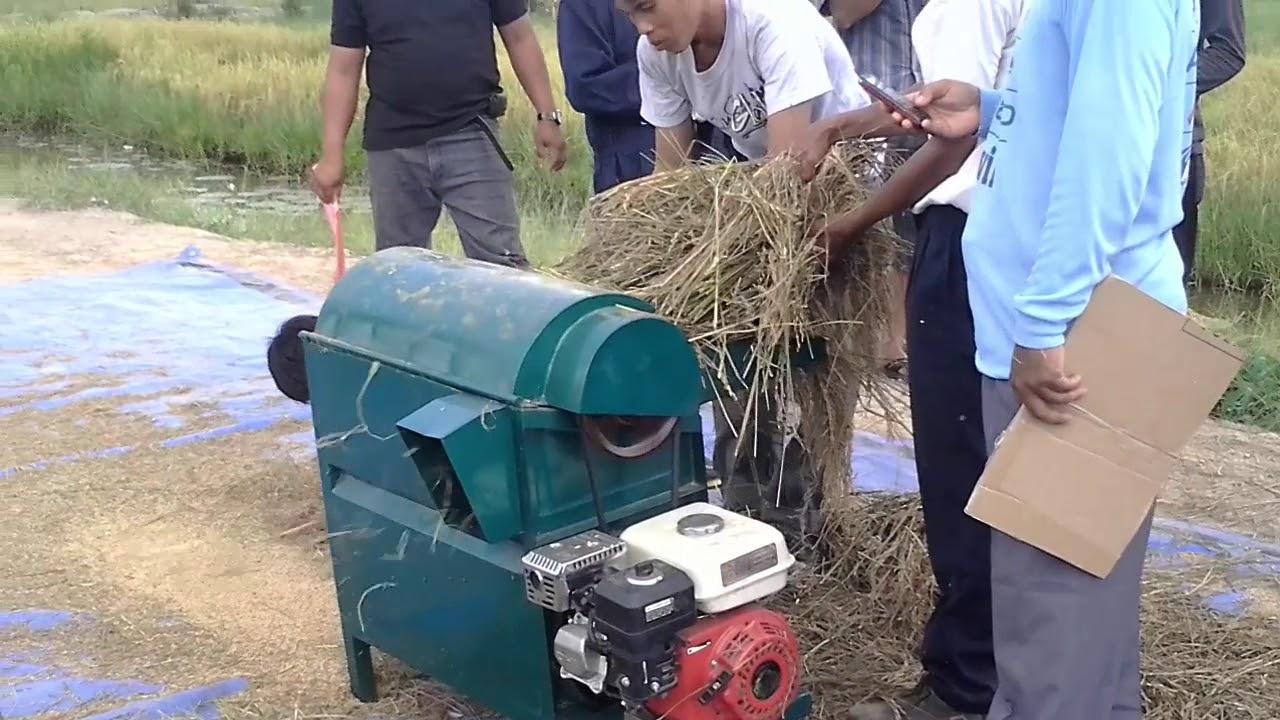 cara memanen padi