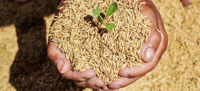 cara membuat benih padi